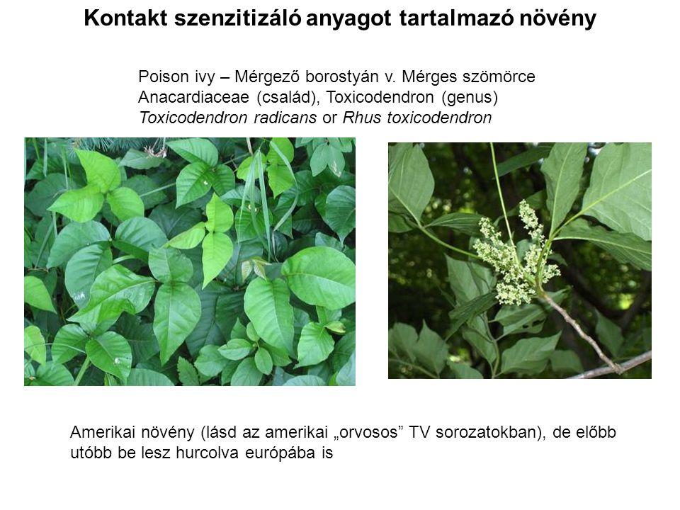 Poison ivy – Mérgező borostyán v. Mérges szömörce Anacardiaceae (család), Toxicodendron (genus) Toxicodendron radicans or Rhus toxicodendron Kontakt s