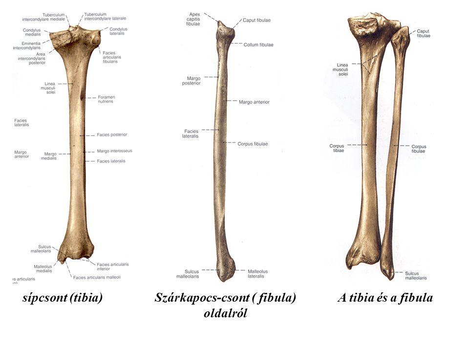 Lábtő – tarsus: 7 csont alkotja: ugrócsont – talus: porcos hengerfelszíne a tibiával és a bokával ízesül (bokavilla), alsó felszíne a sarokcsonttal az alsó izület alkotásában vesz részt sarokcsont – calcaneus: téglatest alakú sajkacsont – os naviculare: az ugrócsont előtti, ékcsontokkal is ízesül köbcsont – os cuboideum: a sarokcsont előtti, azzal ízesülő csont, a sajkacsonttal és a 3.