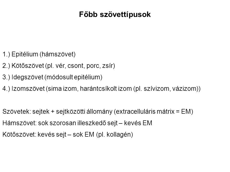 Főbb szövettípusok 1.) Epitélium (hámszövet) 2.) Kötőszövet (pl.