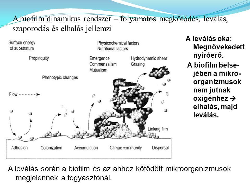 A biofilm dinamikus rendszer – folyamatos megkötődés, leválás, szaporodás és elhalás jellemzi A leválás oka: Megnövekedett nyíróerő. A biofilm belse-