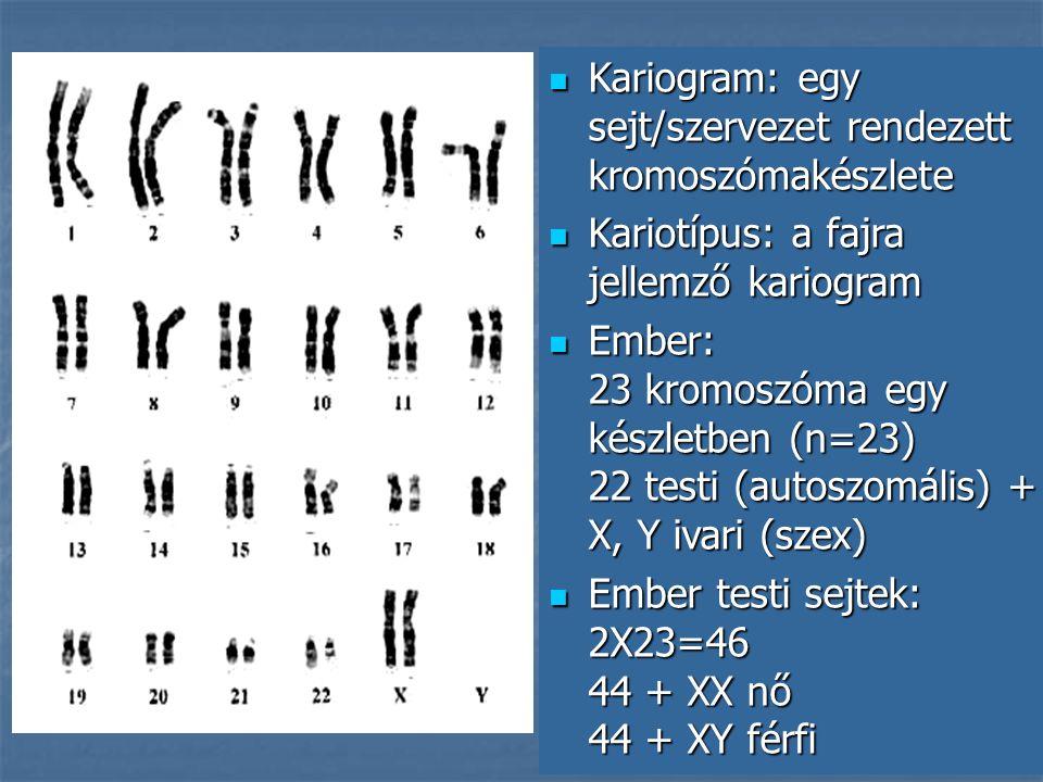 Kariogram: egy sejt/szervezet rendezett kromoszómakészlete Kariogram: egy sejt/szervezet rendezett kromoszómakészlete Kariotípus: a fajra jellemző kariogram Kariotípus: a fajra jellemző kariogram Ember: 23 kromoszóma egy készletben (n=23) 22 testi (autoszomális) + X, Y ivari (szex) Ember: 23 kromoszóma egy készletben (n=23) 22 testi (autoszomális) + X, Y ivari (szex) Ember testi sejtek: 2X23=46 44 + XX nő 44 + XY férfi Ember testi sejtek: 2X23=46 44 + XX nő 44 + XY férfi