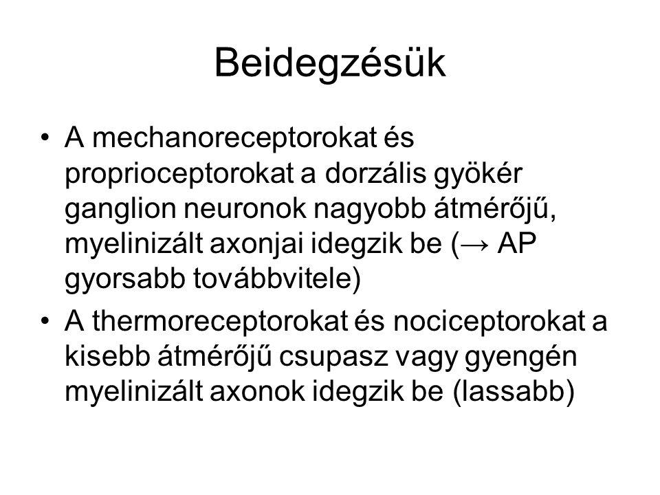Neurológiai nomenklatúra Szomatikus érzékelés két osztálya –Epikritikus: tapintás finom aspektusai, melyet enkapszulált receptorok mediálnak Képesek: topognosis = bőr enyhe kontaktusának detektálása, pozíció-lokalizálás Vibráció, illetve annak frekvenciája és amplitúdójának meghatározása Tapintás térbeli részletei – textúra, két-pont diszkrimináció Stereognosis = tárgy alakjának kitapintása –Protopatikus: fájdalom és hőérzékelés, csupasz idegvégződésű receptorok mediálják