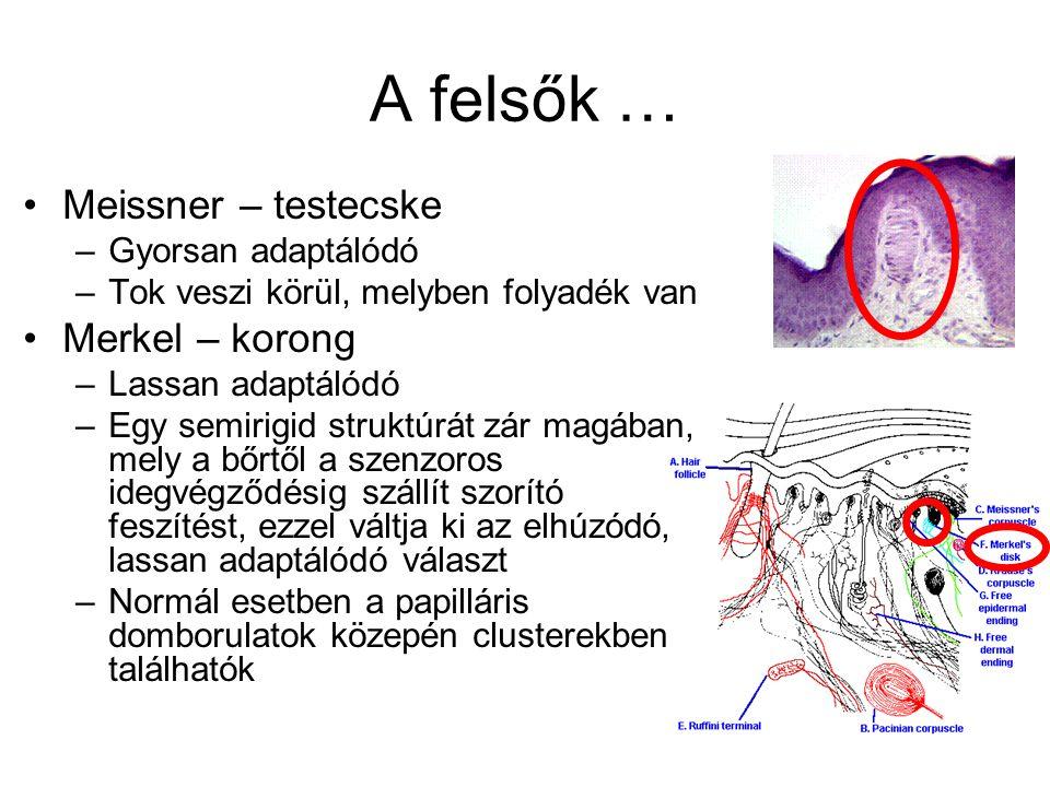 Az alsók … Nagyobbak, de kevesebben vannak Két fajtájuk van Pacini – testecske –Fiziológiásan a Meissner analógja, a bőr gyors bemélyedésére válaszol, DE az állandó nyomásra nem; nagy kapszulája flexibilisen kapcsolódik a bőrhöz → több cm mélyről is érzi a vibrációt Ruffini – végződés –Lassan adaptálódó –Bőr megnyúlására, körmök hajlítására érzékeny