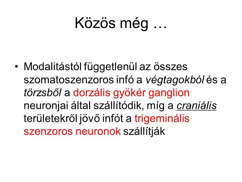 Dorzális gyökér ganglion neuronok Két fő funkció –Ingertranszdukció –A kódolt ingerinfó transzmissziója a KIR-be Sejttest: a dorzális gyökér ganglionokban Axon: 2 ága van, egyik a perifériára (terminál, ezek lesznek a receptorok), másik a KIR-be projektál