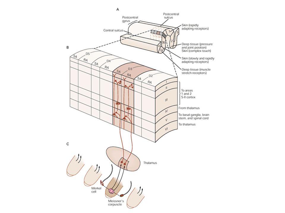 Téri felbontás a kéregben A bőr beidegződésének sűrűségével korrelál Más élőlények – más kérgi reprezentáció
