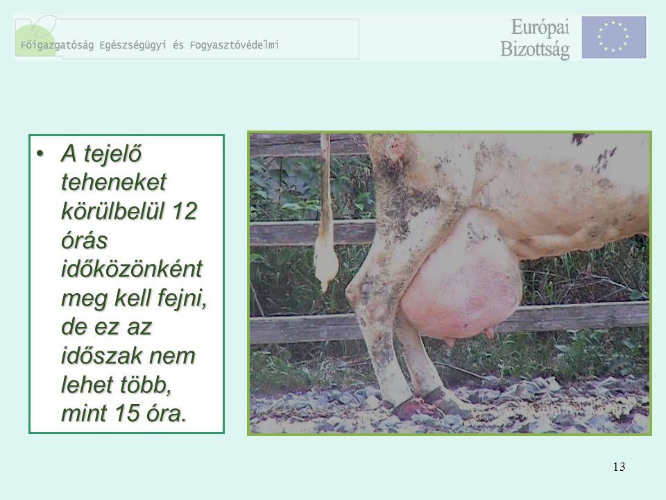 13 A tejelő teheneket körülbelül 12 órás időközönként meg kell fejni, de ez az időszak nem lehet több, mint 15 óra.A tejelő teheneket körülbelül 12 ór