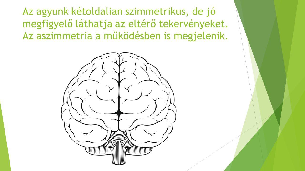 Az agyunk kétoldalian szimmetrikus, de jó megfigyelő láthatja az eltérő tekervényeket. Az aszimmetria a működésben is megjelenik.