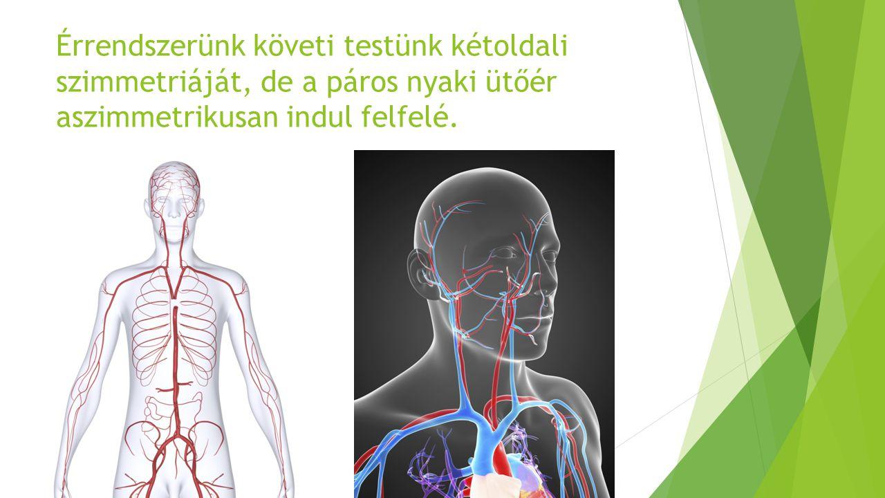 Érrendszerünk követi testünk kétoldali szimmetriáját, de a páros nyaki ütőér aszimmetrikusan indul felfelé.