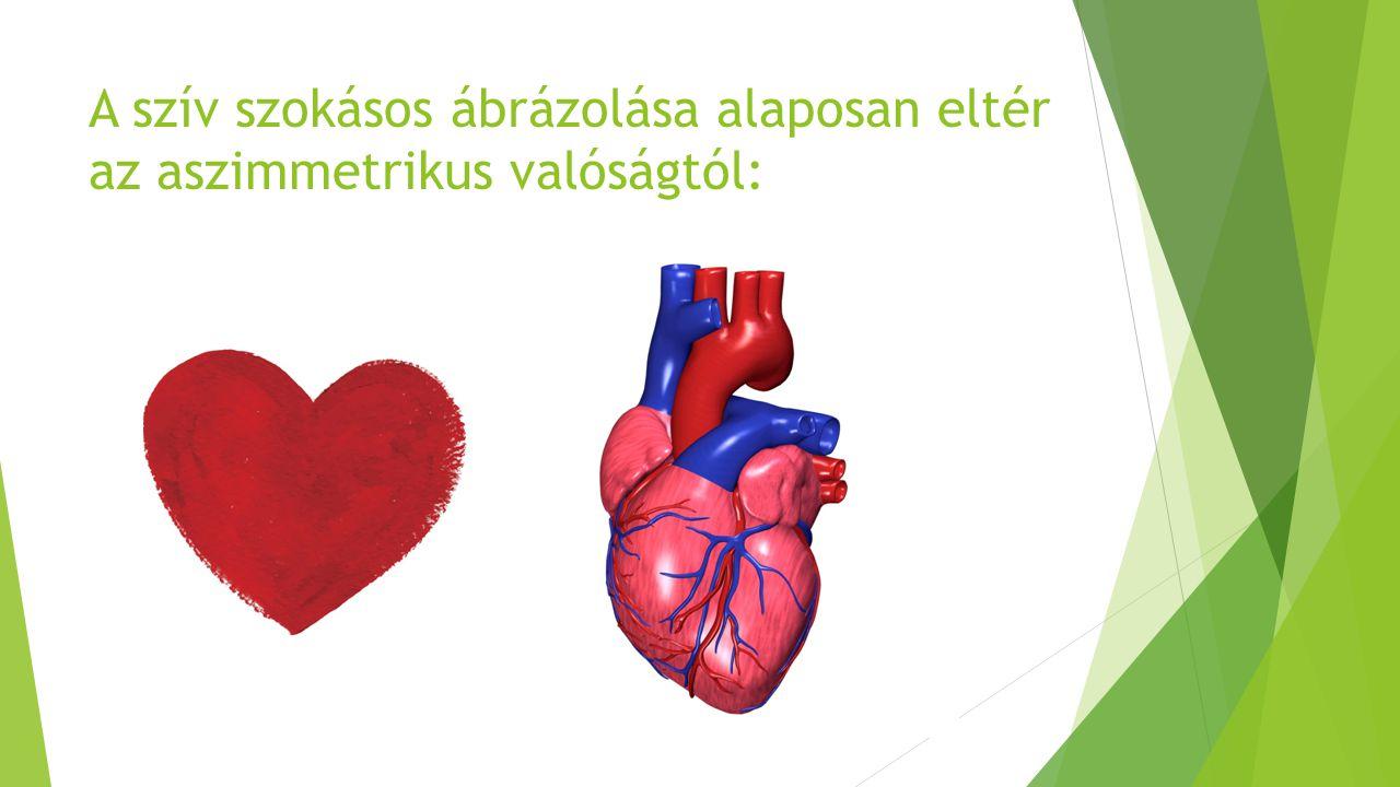Páros tüdőnk éppen szívünknek ad helyet a mellkasban, ezért aszimmetrikus: