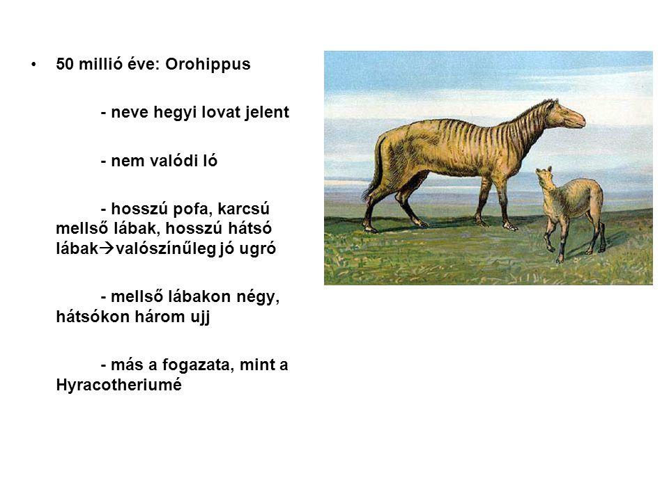47 millió éve: Epihippus - folytatódik a fogazat fejlődése Oligocén elején: Mesohippus - mind négy lábon, három ujj; az első és ötödik elcsökevényesedik - hosszú, karcsú lábak - marmagasság: 61cm - hosszabb pofa, nyak - nagyobb agy