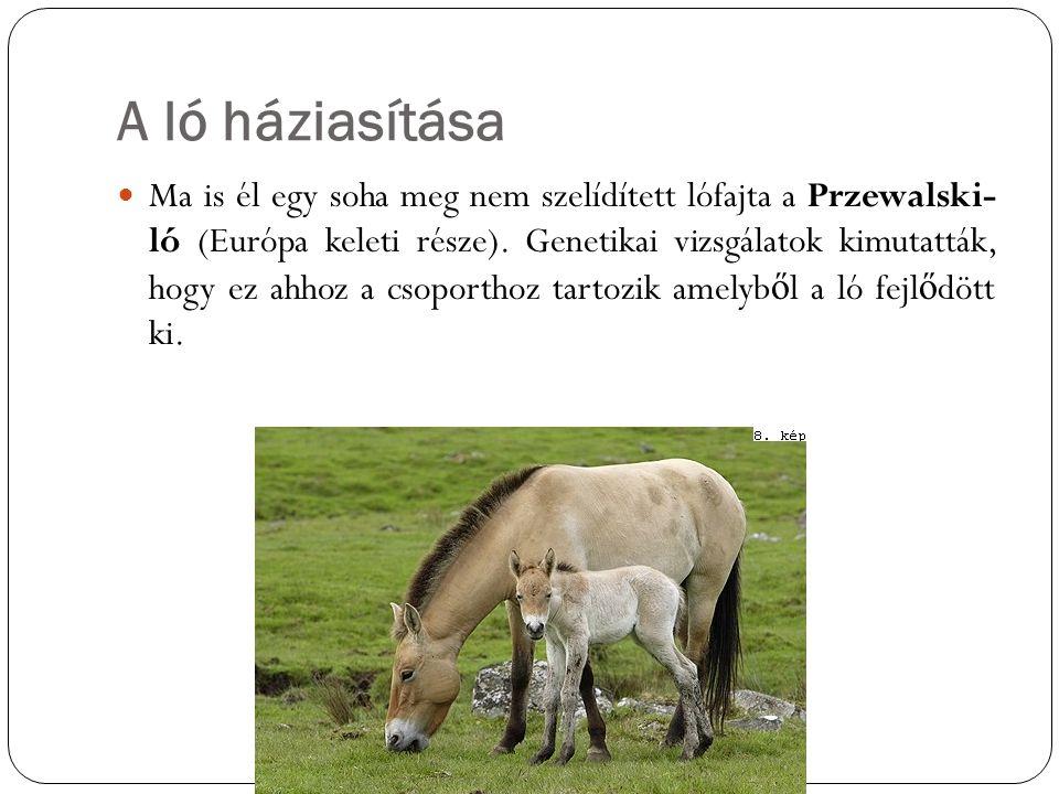 A ló háziasítása Ma is él egy soha meg nem szelídített lófajta a Przewalski- ló (Európa keleti része). Genetikai vizsgálatok kimutatták, hogy ez ahhoz