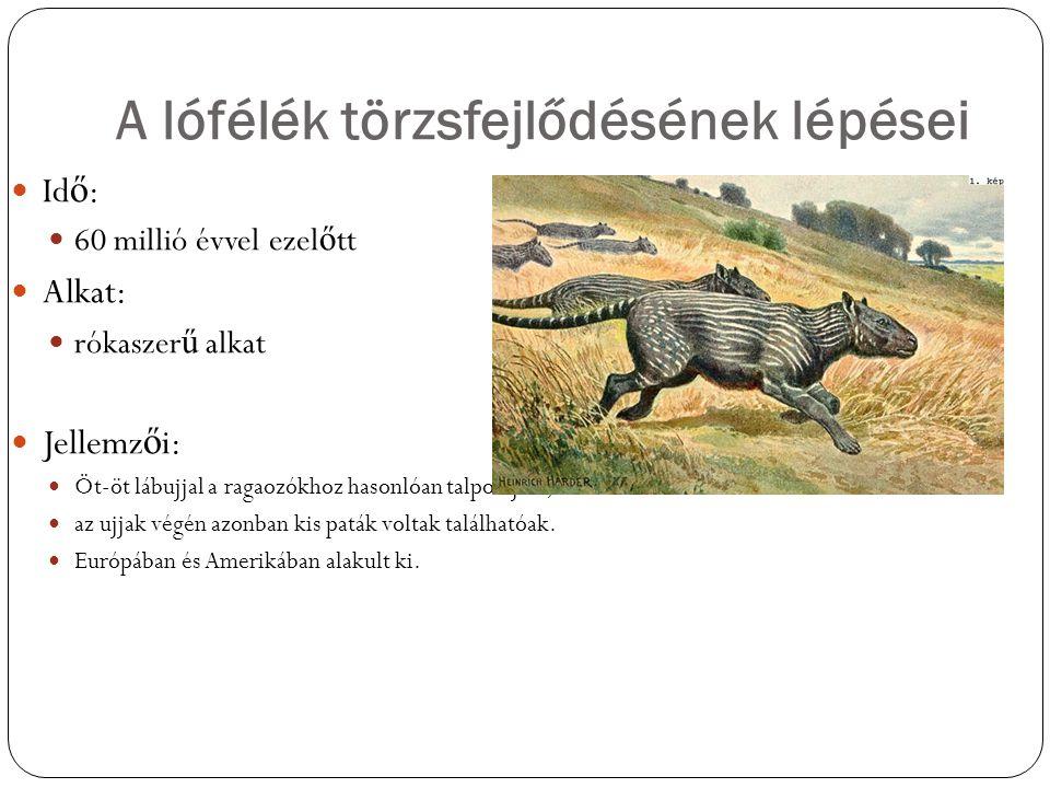 A lófélék törzsfejlődésének lépései Id ő : 60 millió évvel ezel ő tt Alkat: rókaszer ű alkat Jellemz ő i: Öt-öt lábujjal a ragaozókhoz hasonlóan talpo