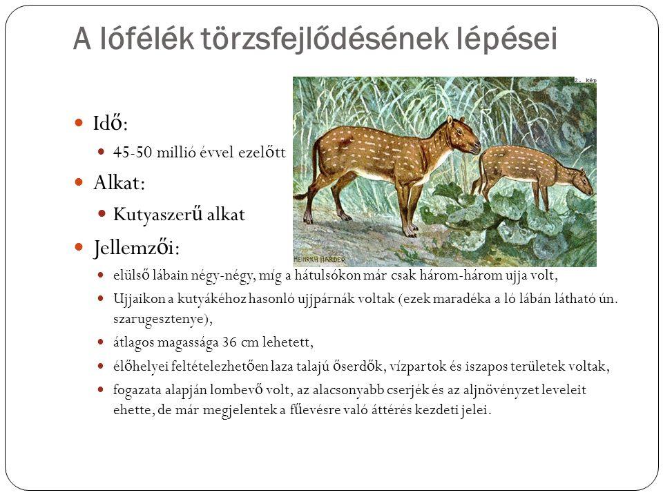 A lófélék törzsfejlődésének lépései Id ő : 25-40 millió évvel ezel ő tt Jellemz ő i: Mind a négy lábukon három ujjuk volt, közülük a valamivel vastagabb középs ő re nehezedett a legnagyobb súly, Táplálékuk kezdetben leginkább puha lombú fák és cserjék hajtásai voltak,