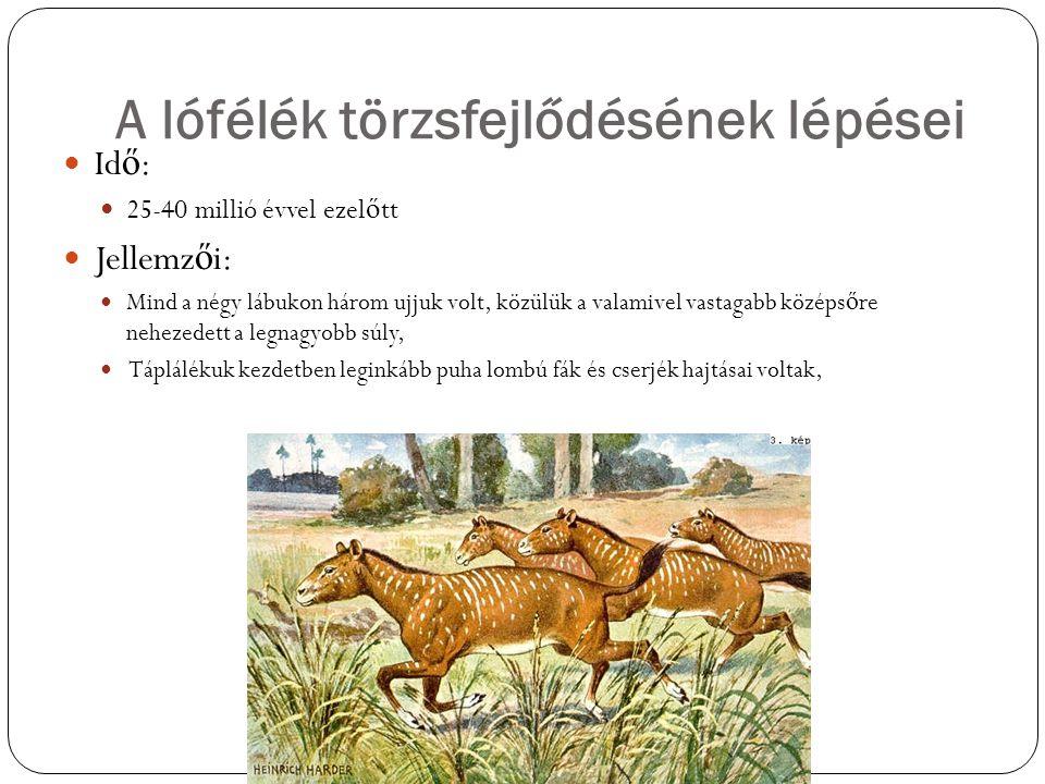 A lófélék törzsfejlődésének lépései Id ő : 25-40 millió évvel ezel ő tt Jellemz ő i: Mind a négy lábukon három ujjuk volt, közülük a valamivel vastaga