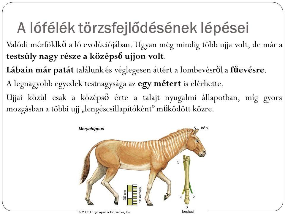 A lófélék törzsfejlődésének lépései Valódi mérföldk ő a ló evolúciójában. Ugyan még mindig több ujja volt, de már a testsúly nagy része a középs ő ujj