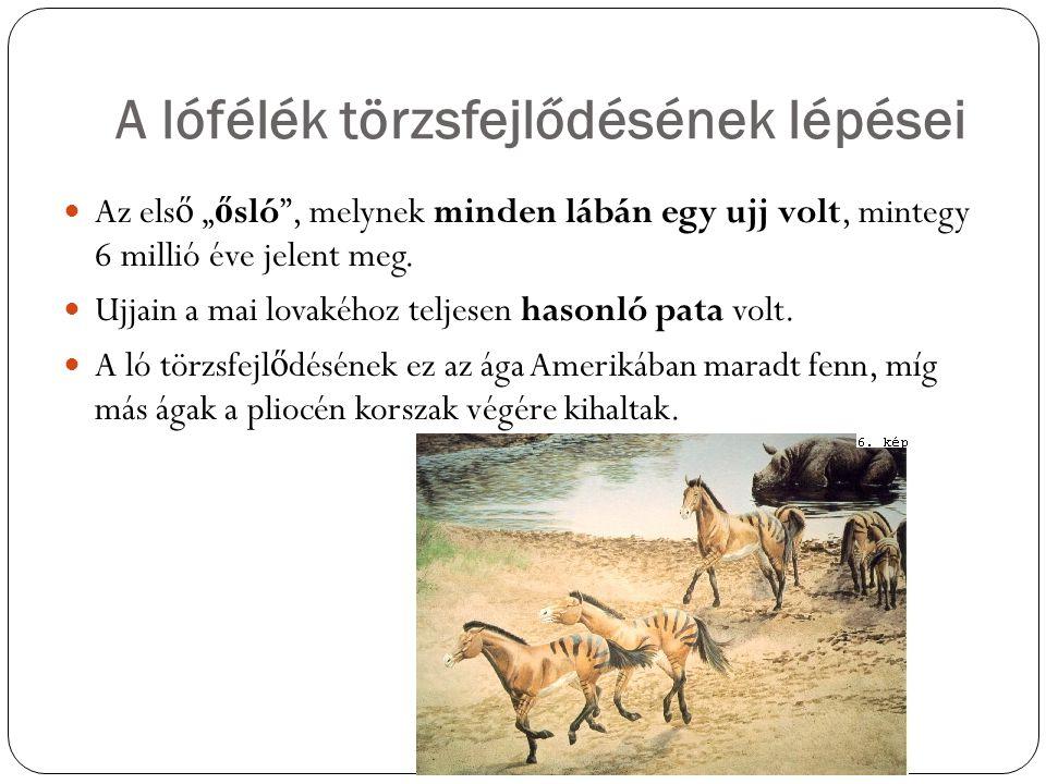 """A lófélék törzsfejlődésének lépései Az els ő """" ő sló"""", melynek minden lábán egy ujj volt, mintegy 6 millió éve jelent meg. Ujjain a mai lovakéhoz telj"""