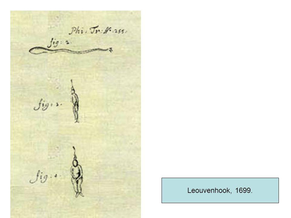 Leouvenhook, 1699.
