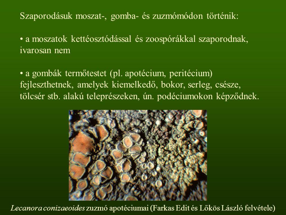 Szaporodásuk moszat-, gomba- és zuzmómódon történik: a moszatok kettéosztódással és zoospórákkal szaporodnak, ivarosan nem a gombák termőtestet (pl.