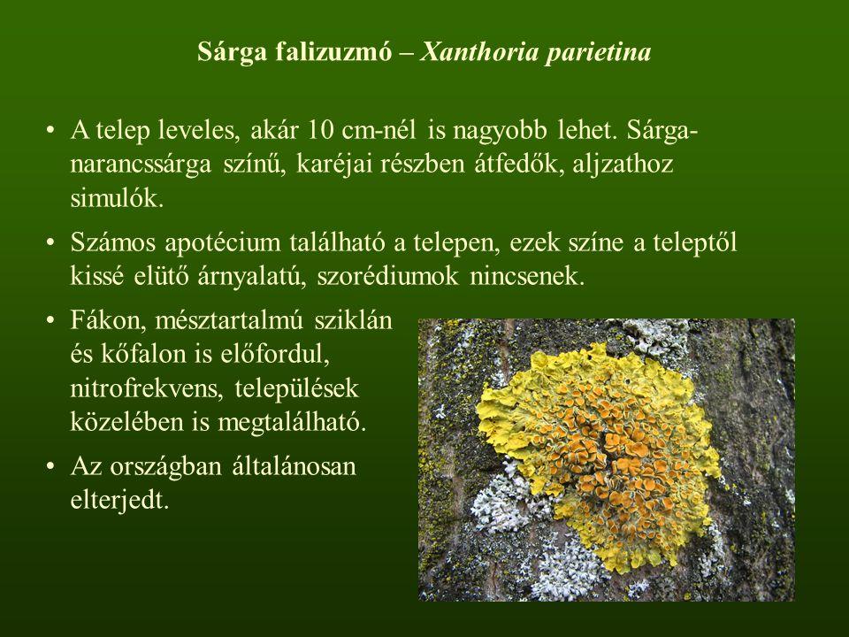 Sárga falizuzmó – Xanthoria parietina A telep leveles, akár 10 cm-nél is nagyobb lehet. Sárga- narancssárga színű, karéjai részben átfedők, aljzathoz