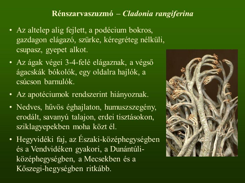 Rénszarvaszuzmó – Cladonia rangiferina Az altelep alig fejlett, a podécium bokros, gazdagon elágazó, szürke, kéregréteg nélküli, csupasz, gyepet alkot.