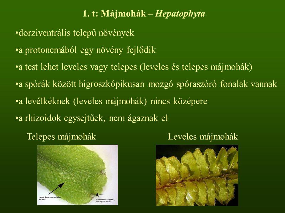 dorziventrális telepű növények a protonemából egy növény fejlődik a test lehet leveles vagy telepes (leveles és telepes májmohák) a spórák között higroszkópikusan mozgó spóraszóró fonalak vannak a levélkéknek (leveles májmohák) nincs középere a rhizoidok egysejtűek, nem ágaznak el 1.