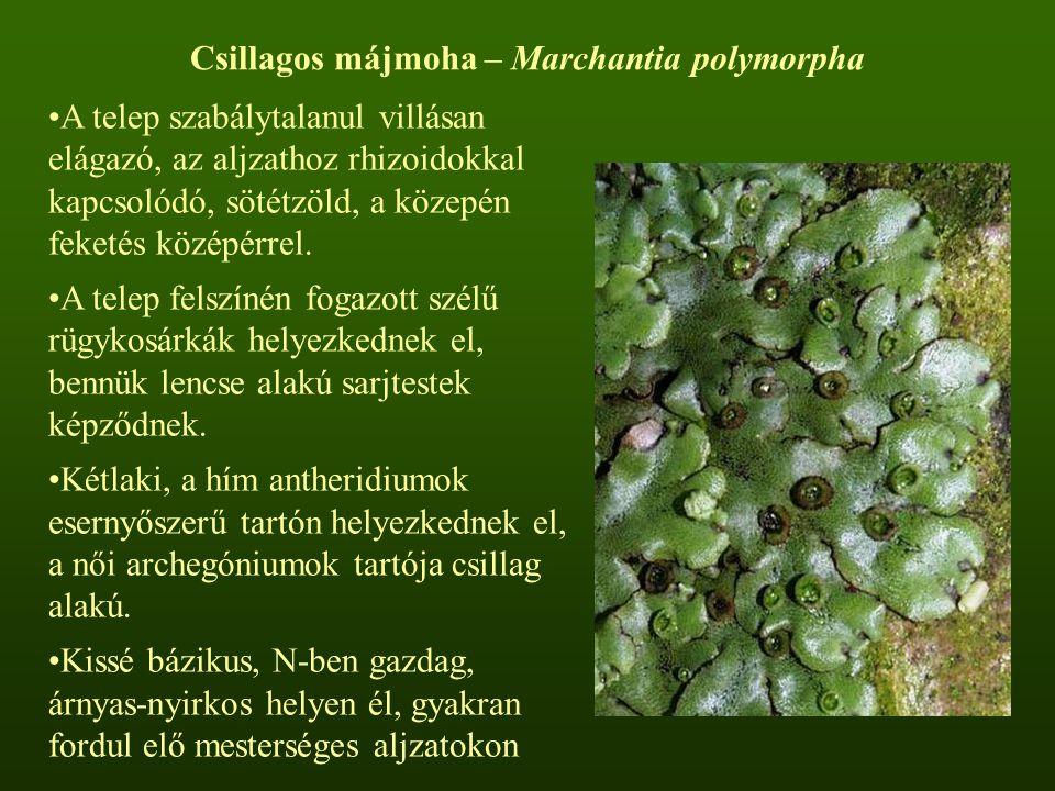 Csillagos májmoha – Marchantia polymorpha A telep szabálytalanul villásan elágazó, az aljzathoz rhizoidokkal kapcsolódó, sötétzöld, a közepén feketés középérrel.
