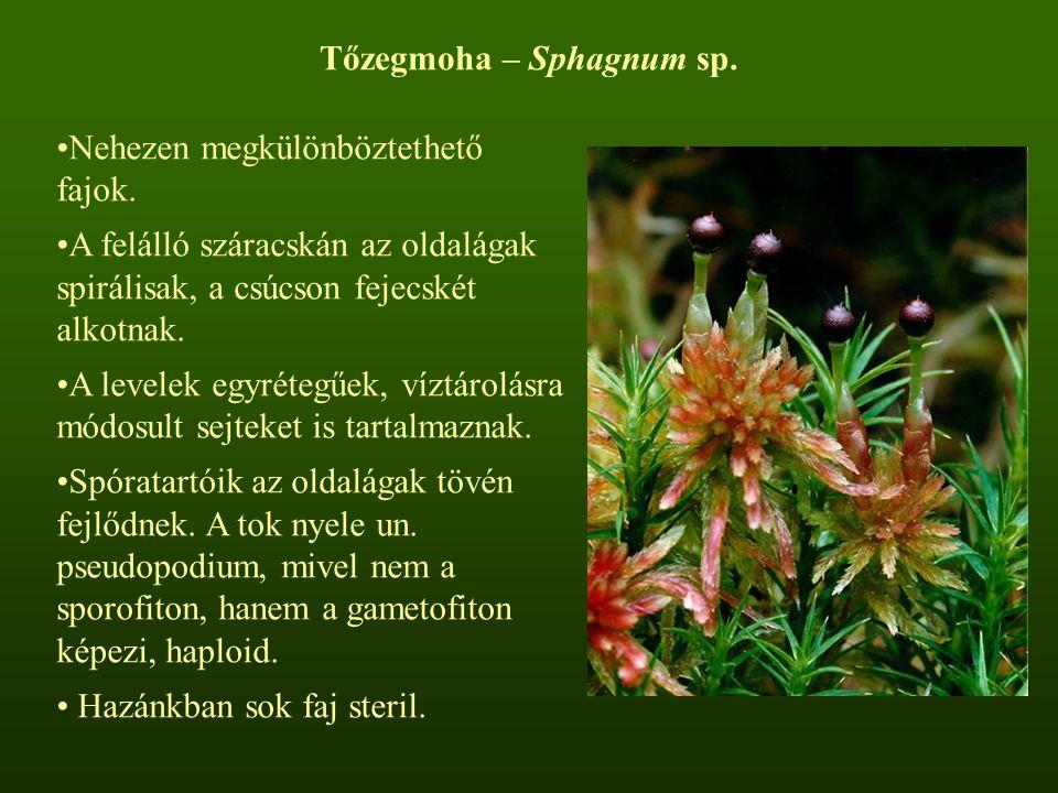 Tőzegmoha – Sphagnum sp. Nehezen megkülönböztethető fajok. A felálló száracskán az oldalágak spirálisak, a csúcson fejecskét alkotnak. A levelek egyré