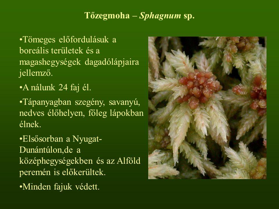 Tőzegmoha – Sphagnum sp. Tömeges előfordulásuk a boreális területek és a magashegységek dagadólápjaira jellemző. A nálunk 24 faj él. Tápanyagban szegé
