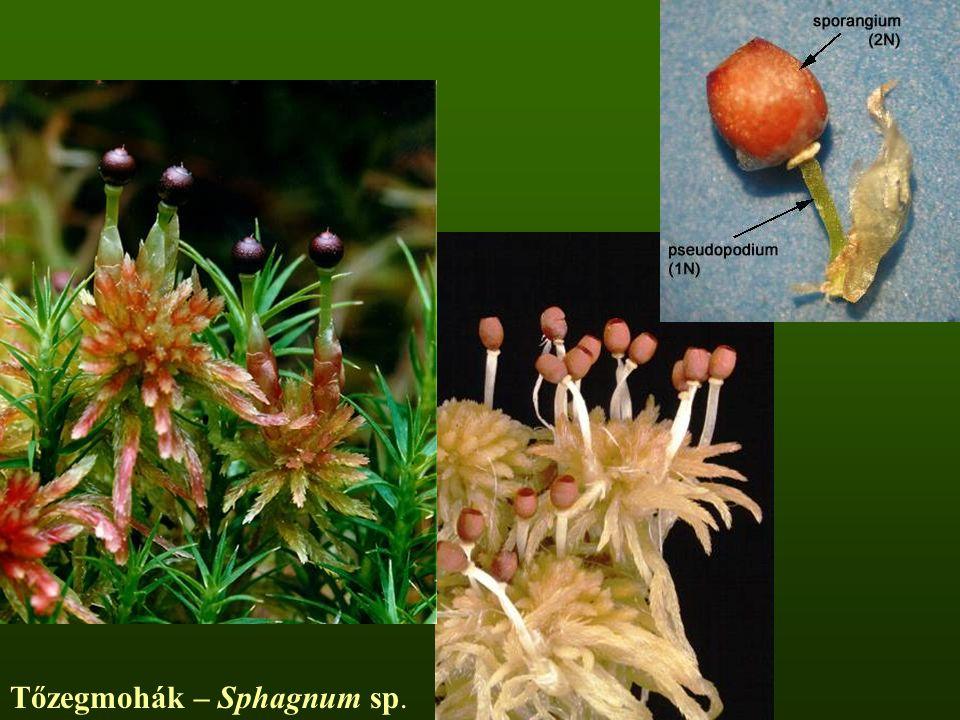 Tőzegmohák – Sphagnum sp.