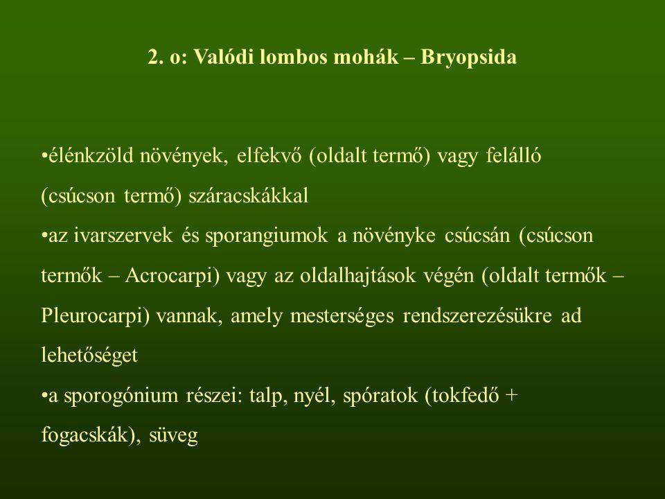 2. o: Valódi lombos mohák – Bryopsida élénkzöld növények, elfekvő (oldalt termő) vagy felálló (csúcson termő) száracskákkal az ivarszervek és sporangi