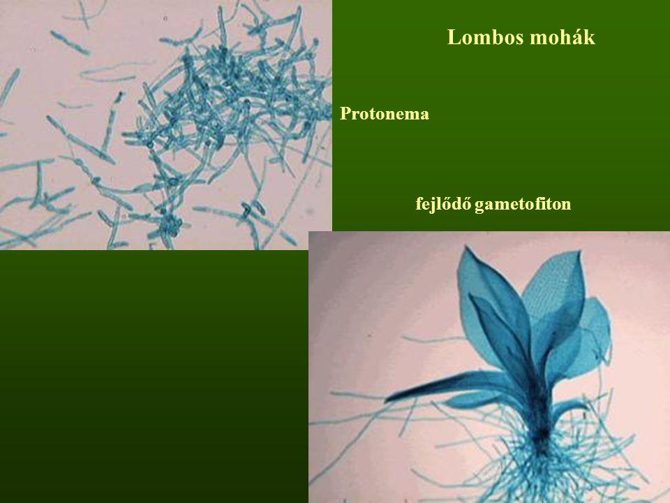 Protonema fejlődő gametofiton