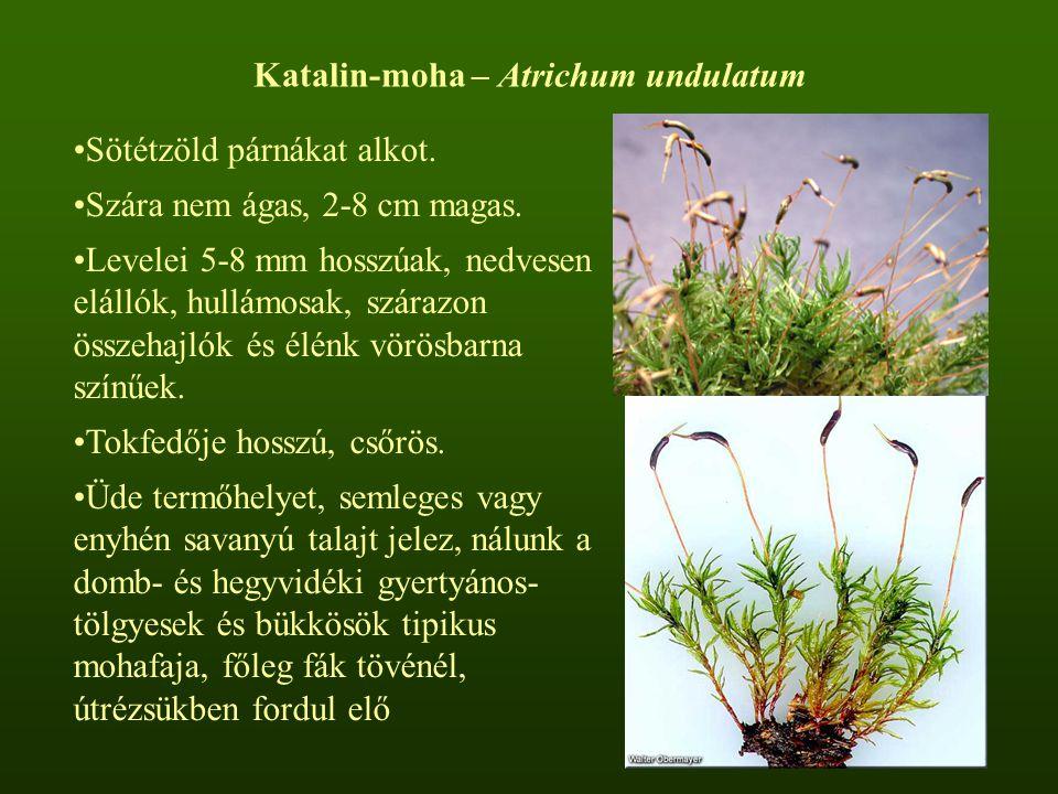 Katalin-moha – Atrichum undulatum Sötétzöld párnákat alkot. Szára nem ágas, 2-8 cm magas. Levelei 5-8 mm hosszúak, nedvesen elállók, hullámosak, szára