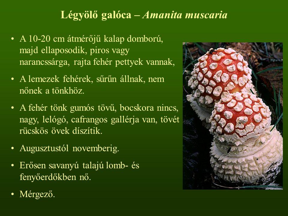 Légyölő galóca – Amanita muscaria A 10-20 cm átmérőjű kalap domború, majd ellaposodik, piros vagy narancssárga, rajta fehér pettyek vannak, A lemezek