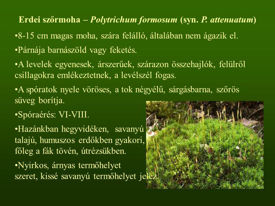Erdei szőrmoha – Polytrichum formosum (syn. P. attenuatum) 8-15 cm magas moha, szára felálló, általában nem ágazik el. Párnája barnászöld vagy feketés