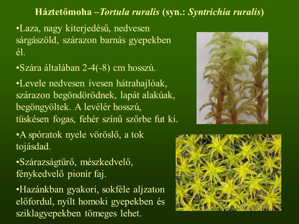 Háztetőmoha –Tortula ruralis (syn.: Syntrichia ruralis) Laza, nagy kiterjedésű, nedvesen sárgászöld, szárazon barnás gyepekben él. Szára általában 2-4