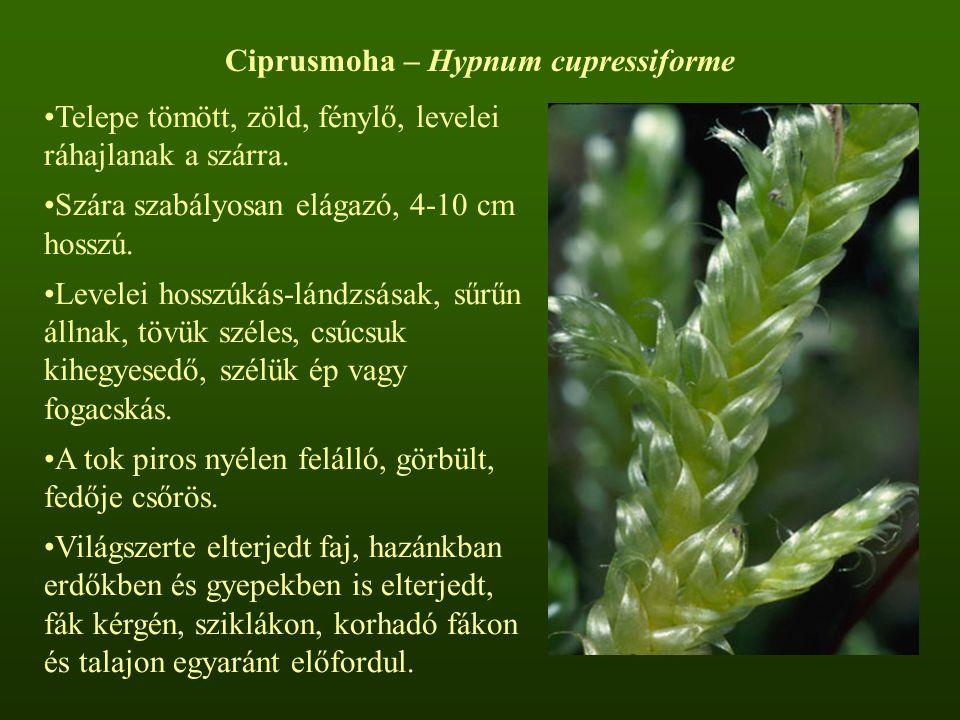 Ciprusmoha – Hypnum cupressiforme Telepe tömött, zöld, fénylő, levelei ráhajlanak a szárra. Szára szabályosan elágazó, 4-10 cm hosszú. Levelei hosszúk