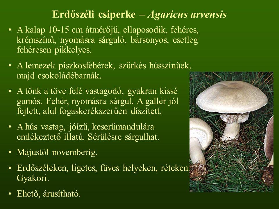 Erdőszéli csiperke – Agaricus arvensis A kalap 10-15 cm átmérőjű, ellaposodik, fehéres, krémszínű, nyomásra sárguló, bársonyos, esetleg fehéresen pikkelyes.