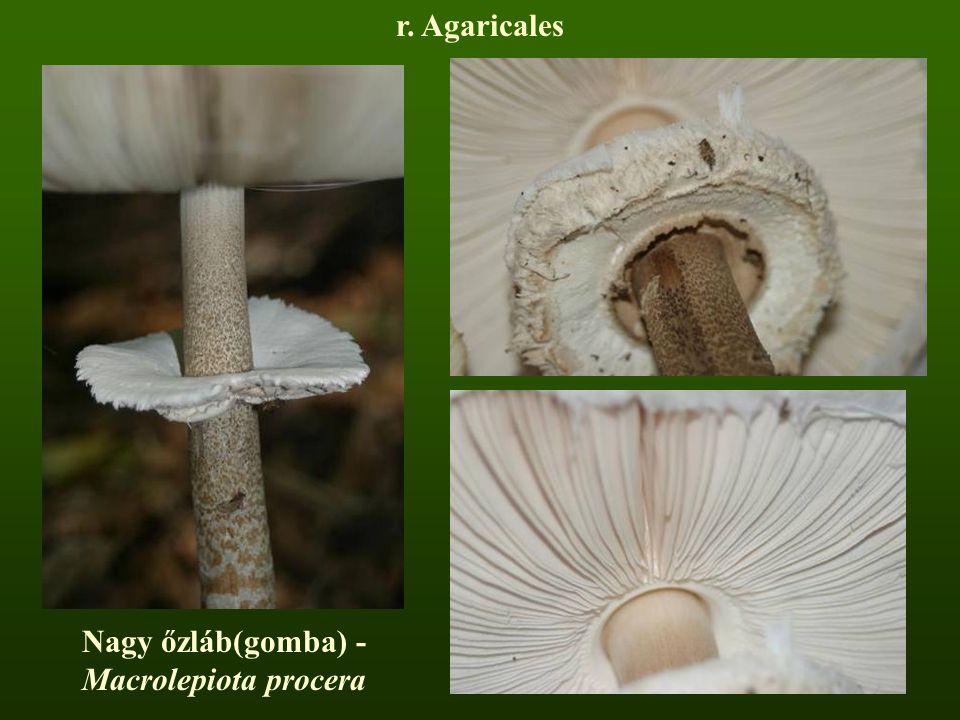 Nagy őzláb(gomba) - Macrolepiota procera r. Agaricales