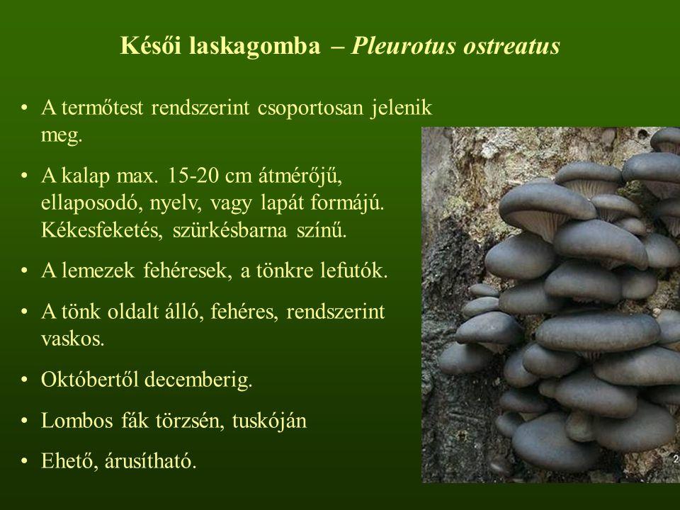 Késői laskagomba – Pleurotus ostreatus A termőtest rendszerint csoportosan jelenik meg.