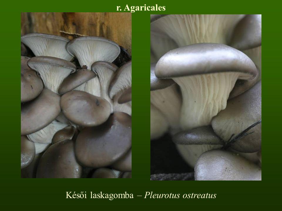 Késői laskagomba – Pleurotus ostreatus r. Agaricales