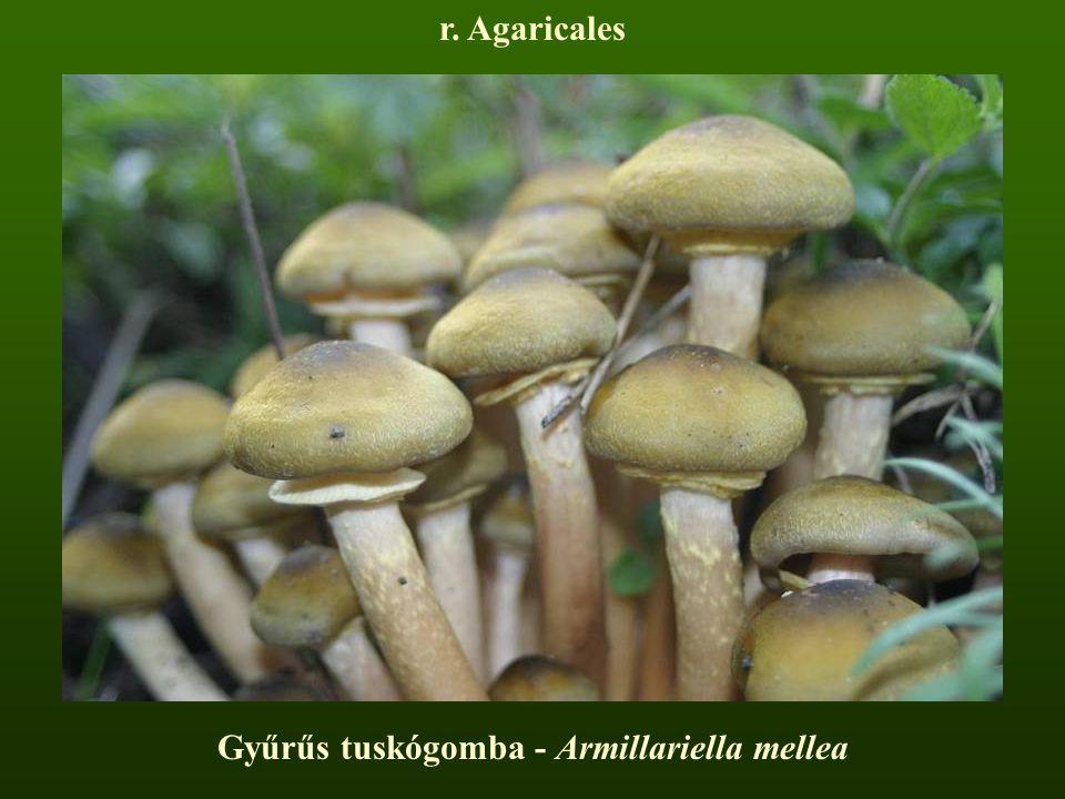 Gyűrűs tuskógomba - Armillariella mellea r. Agaricales