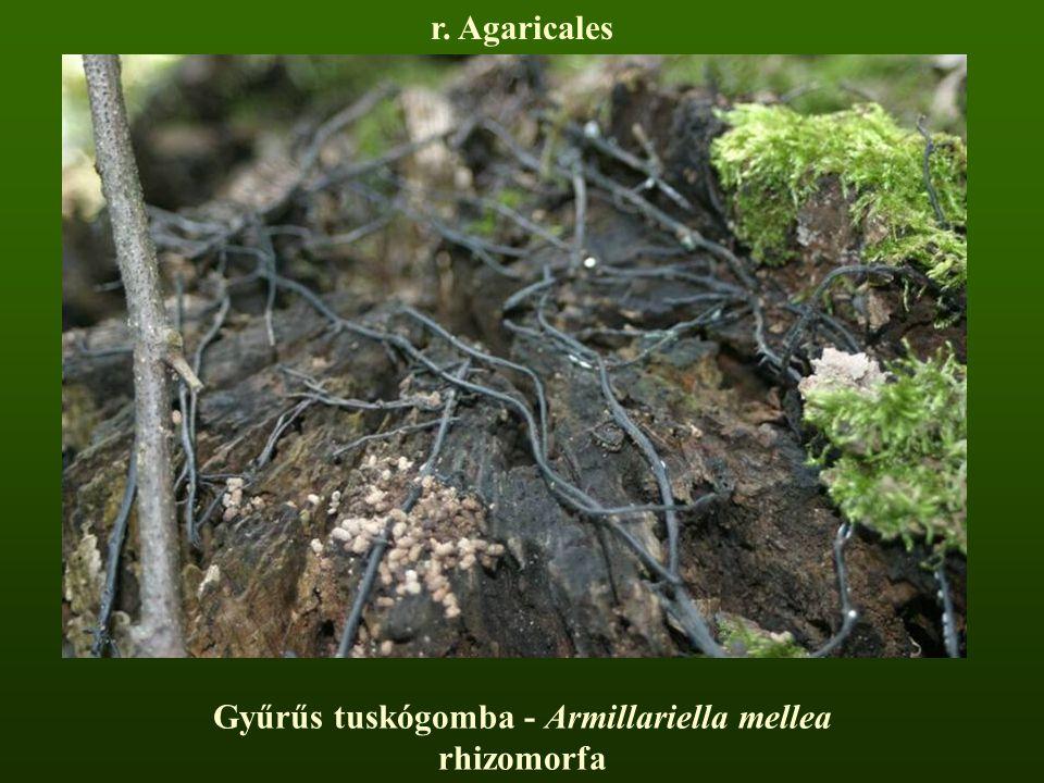 Gyűrűs tuskógomba - Armillariella mellea rhizomorfa r. Agaricales