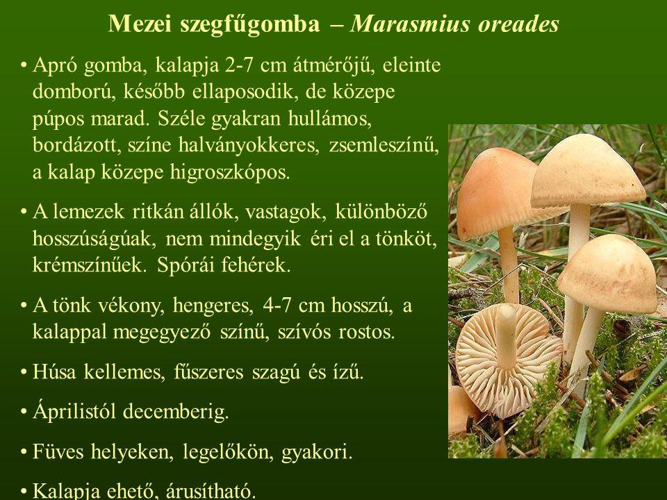 Mezei szegfűgomba – Marasmius oreades Apró gomba, kalapja 2-7 cm átmérőjű, eleinte domború, később ellaposodik, de közepe púpos marad. Széle gyakran h