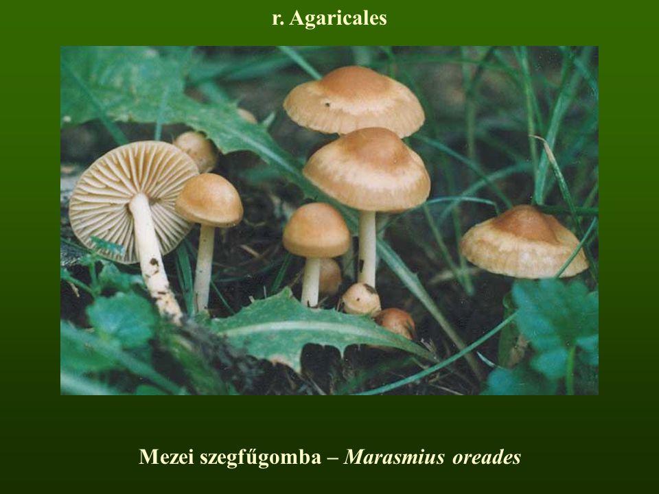 Mezei szegfűgomba – Marasmius oreades r. Agaricales
