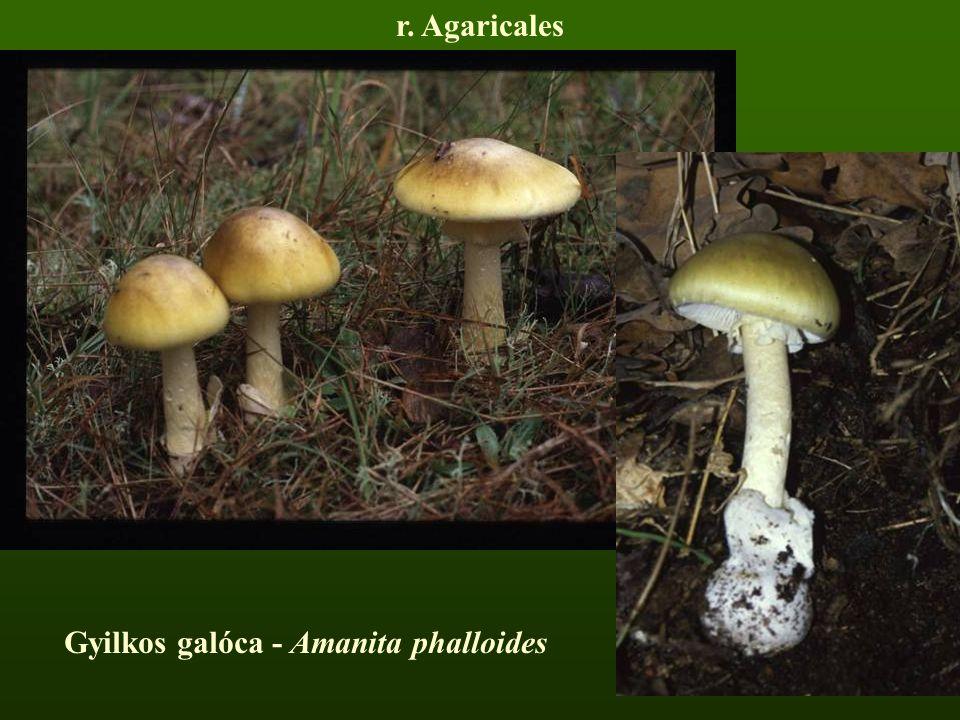 Gyilkos galóca - Amanita phalloides r. Agaricales