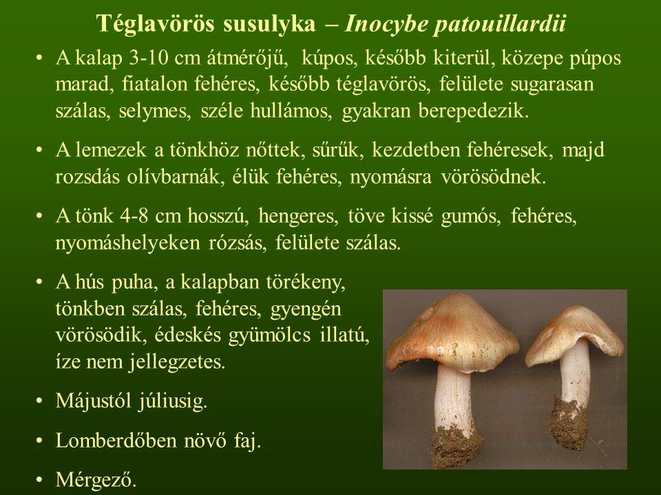 Téglavörös susulyka – Inocybe patouillardii A kalap 3-10 cm átmérőjű, kúpos, később kiterül, közepe púpos marad, fiatalon fehéres, később téglavörös,