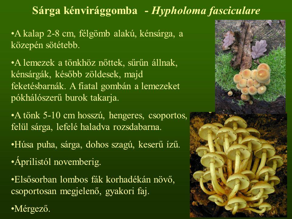Sárga kénvirággomba - Hypholoma fasciculare A kalap 2-8 cm, félgömb alakú, kénsárga, a közepén sötétebb. A lemezek a tönkhöz nőttek, sűrűn állnak, kén