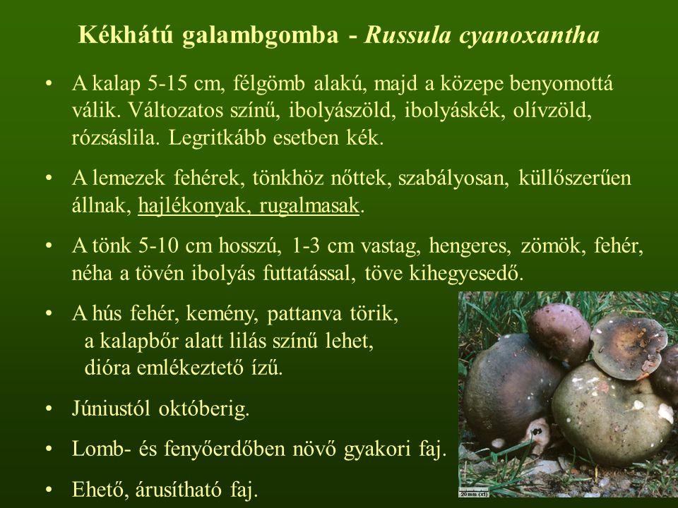 Kékhátú galambgomba - Russula cyanoxantha A kalap 5-15 cm, félgömb alakú, majd a közepe benyomottá válik. Változatos színű, ibolyászöld, ibolyáskék, o