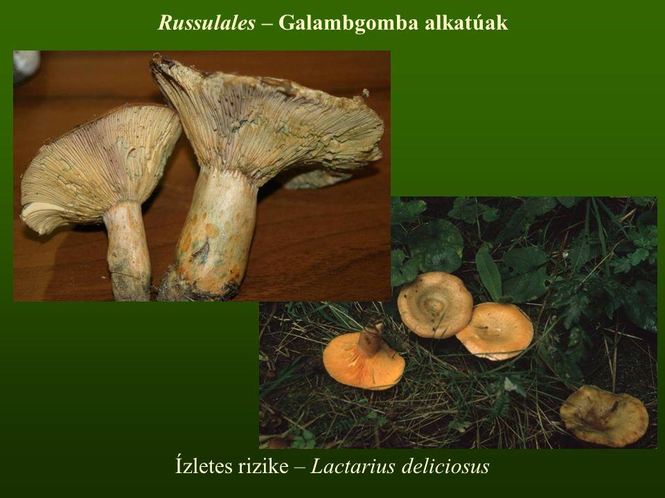 Russulales – Galambgomba alkatúak