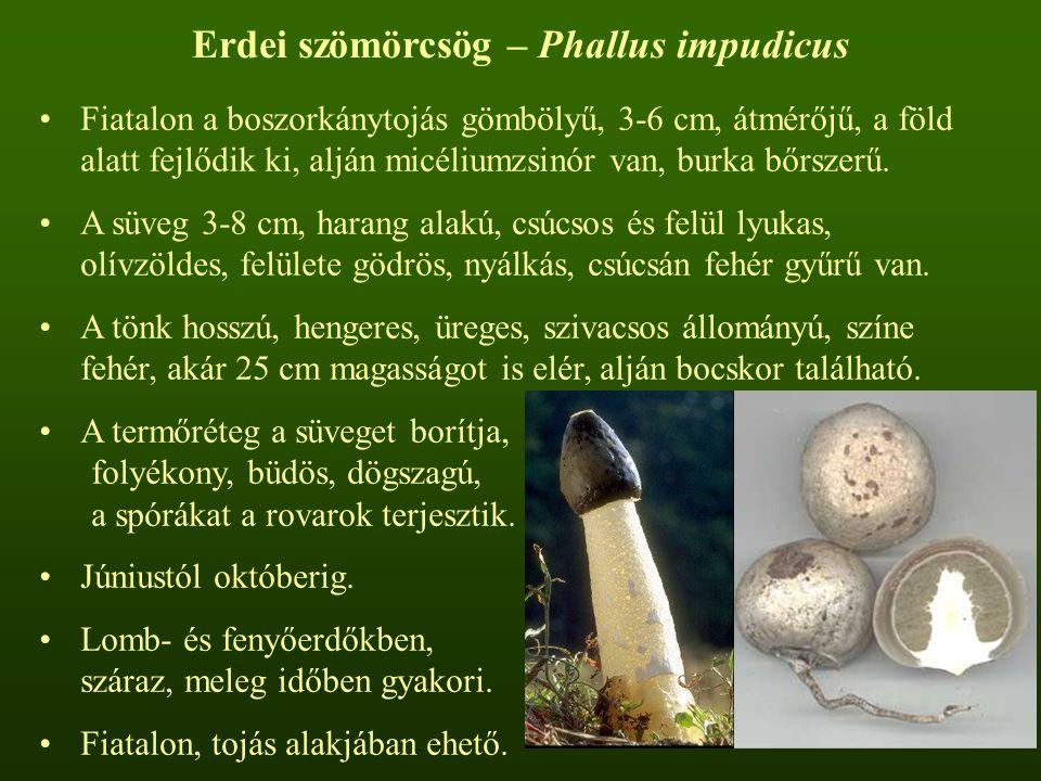 Erdei szömörcsög – Phallus impudicus Fiatalon a boszorkánytojás gömbölyű, 3-6 cm, átmérőjű, a föld alatt fejlődik ki, alján micéliumzsinór van, burka bőrszerű.